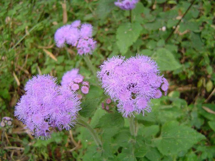 fiore dell'agerato