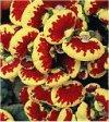 "Calceolaria"""