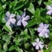 pervinca fiore