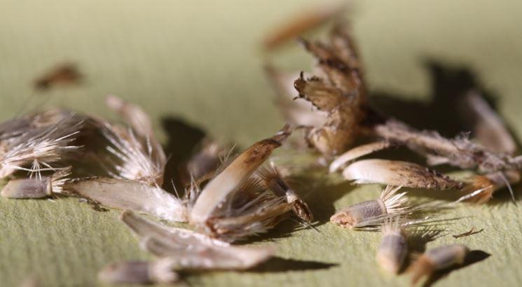semi di fiordaliso