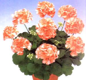 Gerani coltivazione e varieta 39 for Fiori gerani