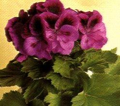 Gerani coltivazione e varieta 39 - Geranio odoroso ...