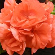 pelargonium orange fizz