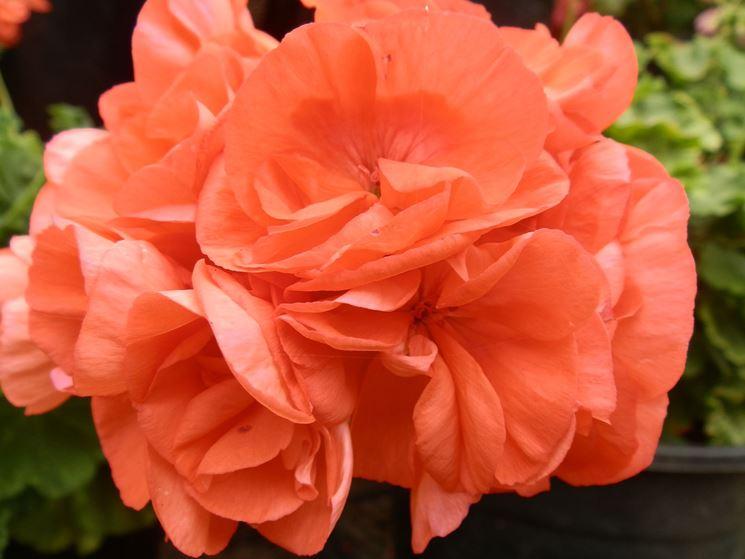 pelargonium orange