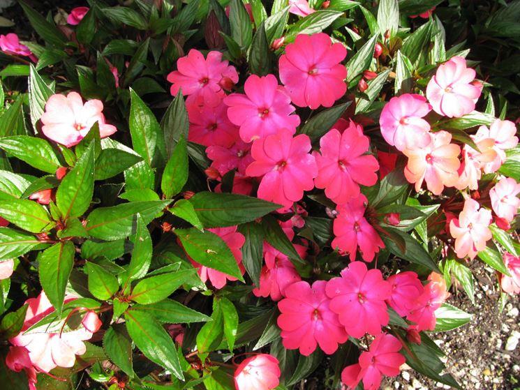 Impatiens impatiens piante annuali balsamina for I fiori della balsamina
