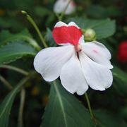 nuova guinea fiore