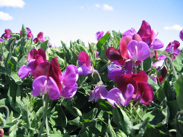 pisello odoroso fiorito