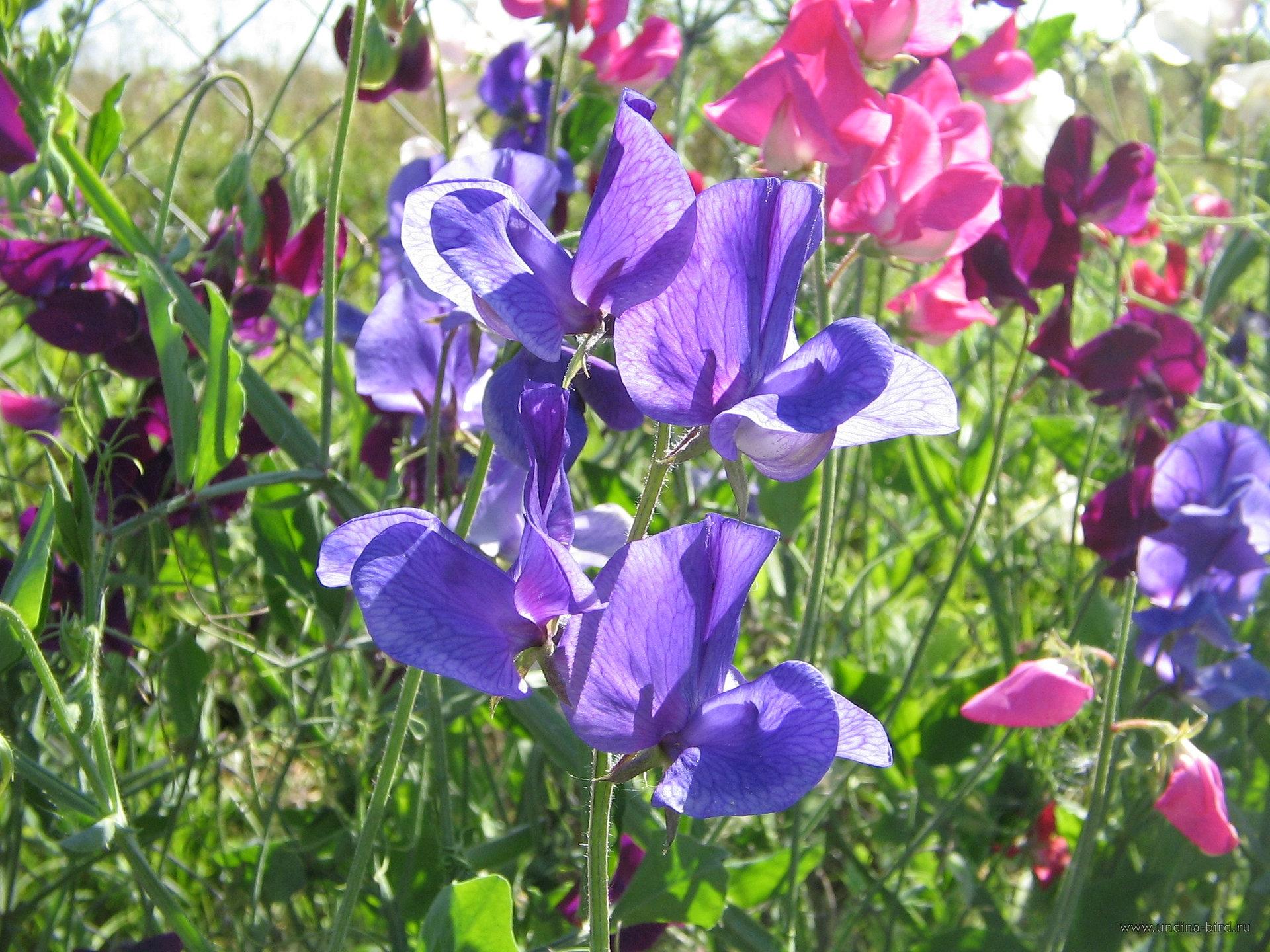 Rampicanti Che Crescono All Ombra pisello odoroso - lathyrus odoratus - piante annuali