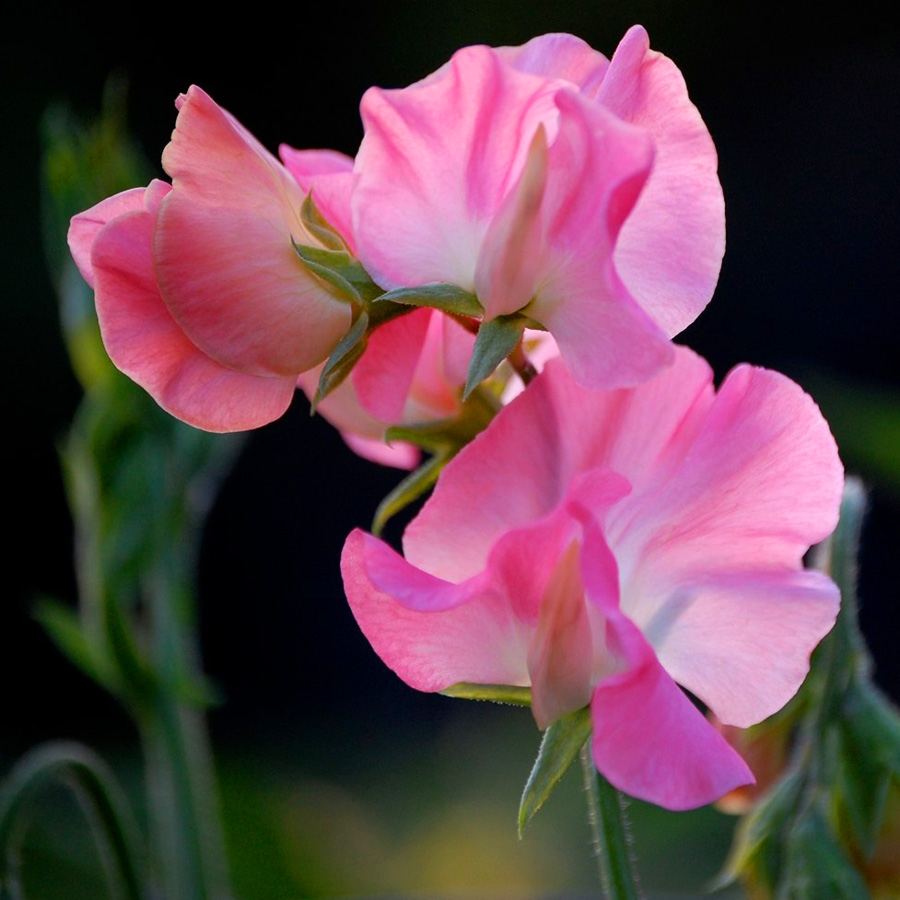 Fiori Gialli Odorosi.Pisello Odoroso Lathyrus Odoratus Piante Annuali Pisello