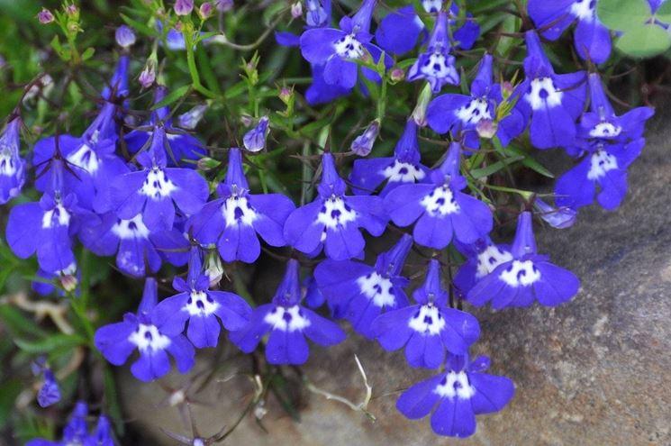 Lobelia lobelia erinus lobelia erinus piante annuali for Albero con fiori blu