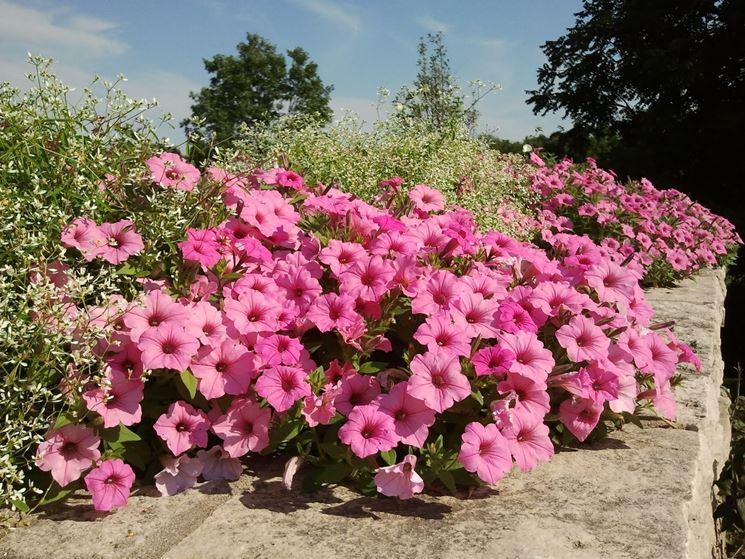 Petunia petunia piante annuali come coltivare le petunie for Petunie perenni