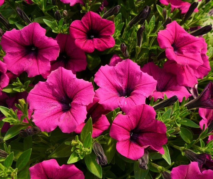 fiore di petunia