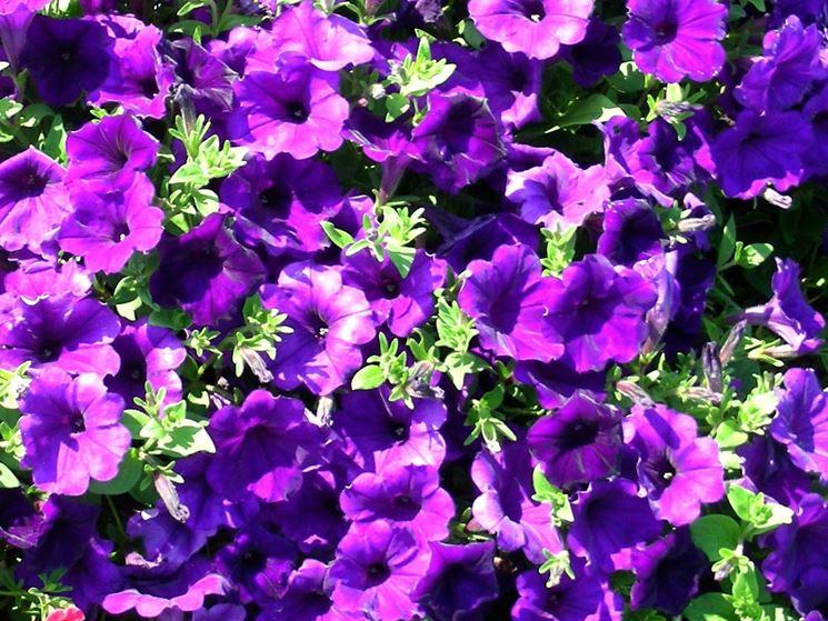 fiore petunia