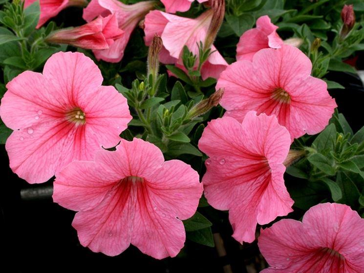 petunia petunia piante annuali come coltivare le petunie
