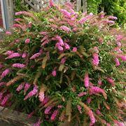 piante da fiore perenni
