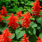 Salvia splendente