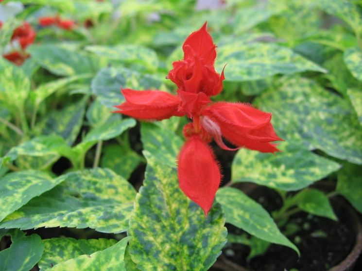 salvia splendens dancing flames