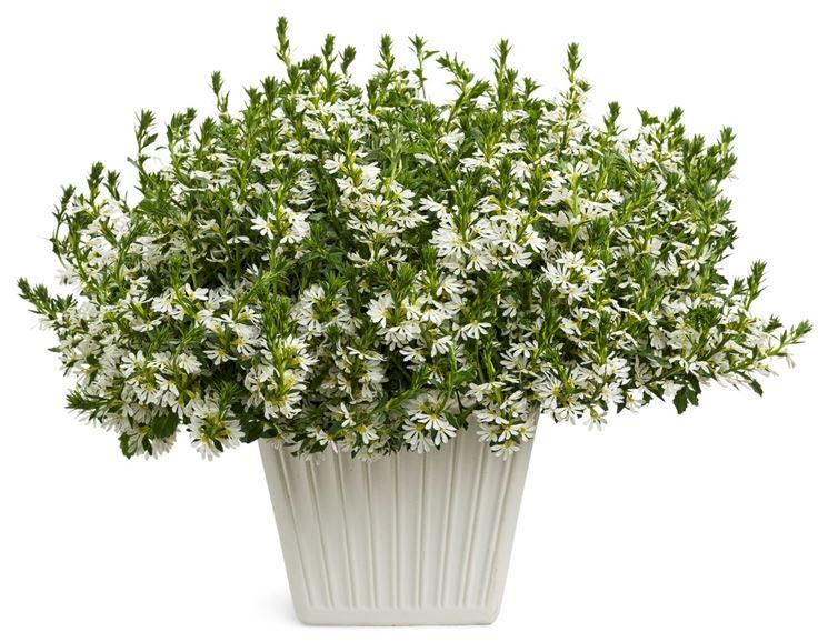 pianta di scevola