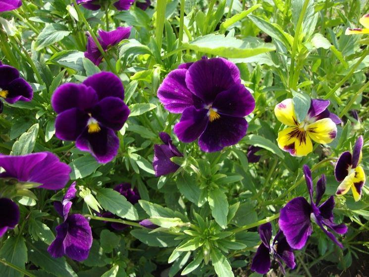 viole hybride