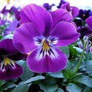 viola pianta