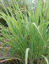 """Cymbopogon nardus"""""""