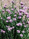 "Allium schoenoprasum"""