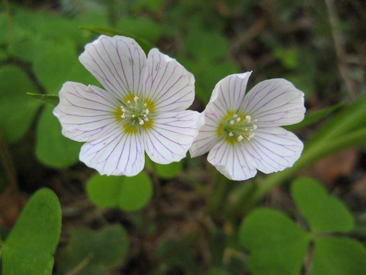 Fiori pianta acetosella