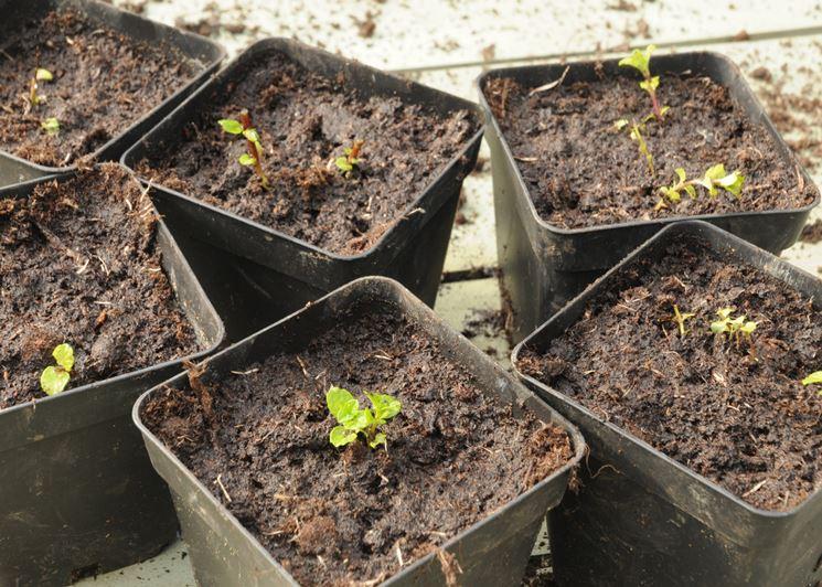 Aromatiche starter pack le 5 piante aromatiche da tenere for Piante di lamponi acquisto