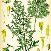 artemisia pianta