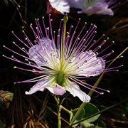 Bellissimo fiore di cappero