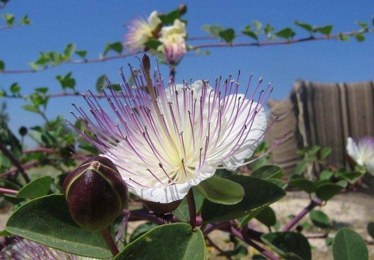 Fiore e bocciolo del cappero
