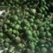 pianta cappero