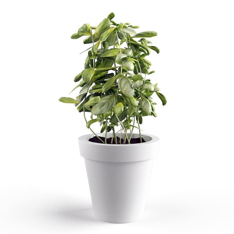 Coltivazione basilico aromatiche come coltivare il for Coltivare il basilico
