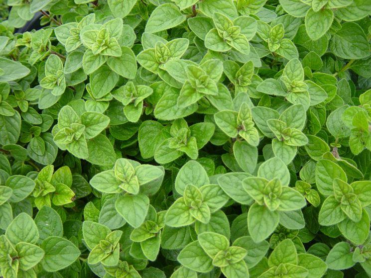 foglie di origano