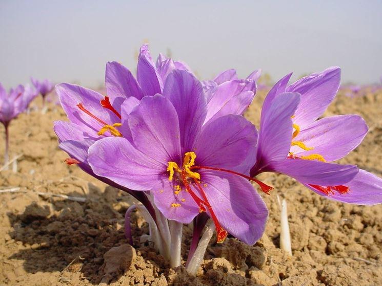 fiori zafferano