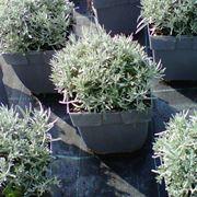 elicriso pianta