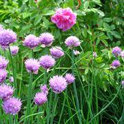 Erba cipollina fiorita
