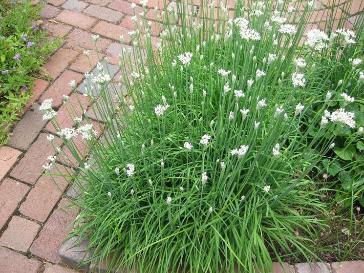 concimare erba cipollina
