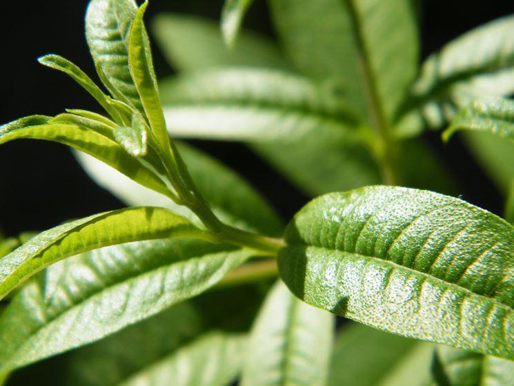 Erba luisa aromatiche coltivare erba luisa - Quando seminare erba giardino ...