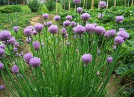 Erba cipollina, Aglio selvatico  -  Allium schoenoprasum