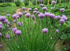 Erba cipollina, Aglio selvatico  -  Allium schoenoprasum