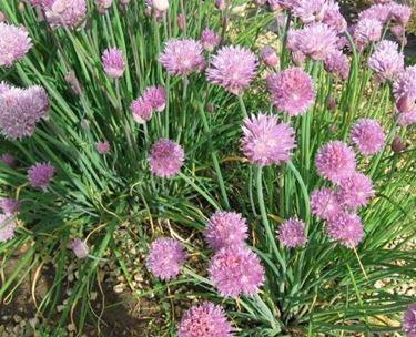 Moltiplicazione erba cipollina