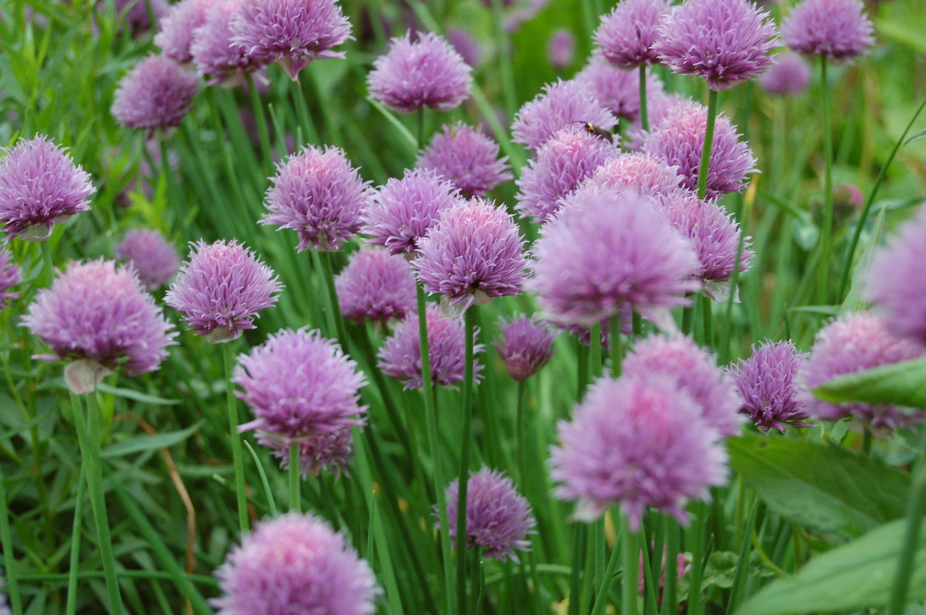 Fiori Erba Cipollina.Erba Cipollina Aglio Selvatico Allium Schoenoprasum Allium