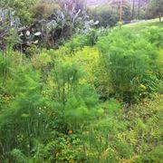 finocchietto selvatico coltivazione