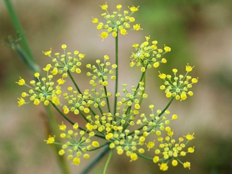 finocchio fiore