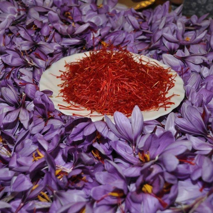 Fiore di zafferano e spezia per cucina