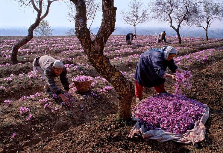 Immagine di fiore di zafferano.