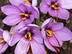 Immagine di fiore zafferano con stimmi rossi
