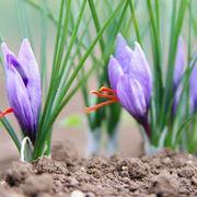 fiore zafferano