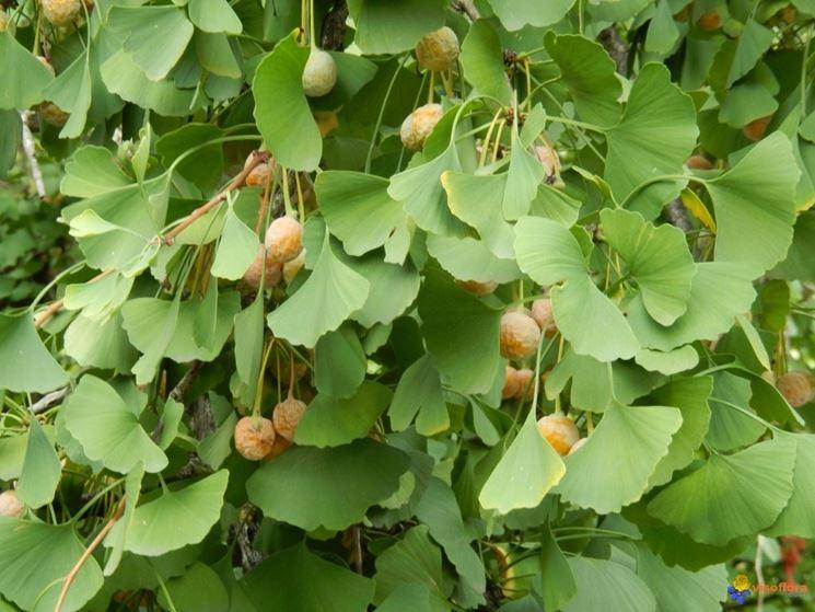 pianta di gingko biloba